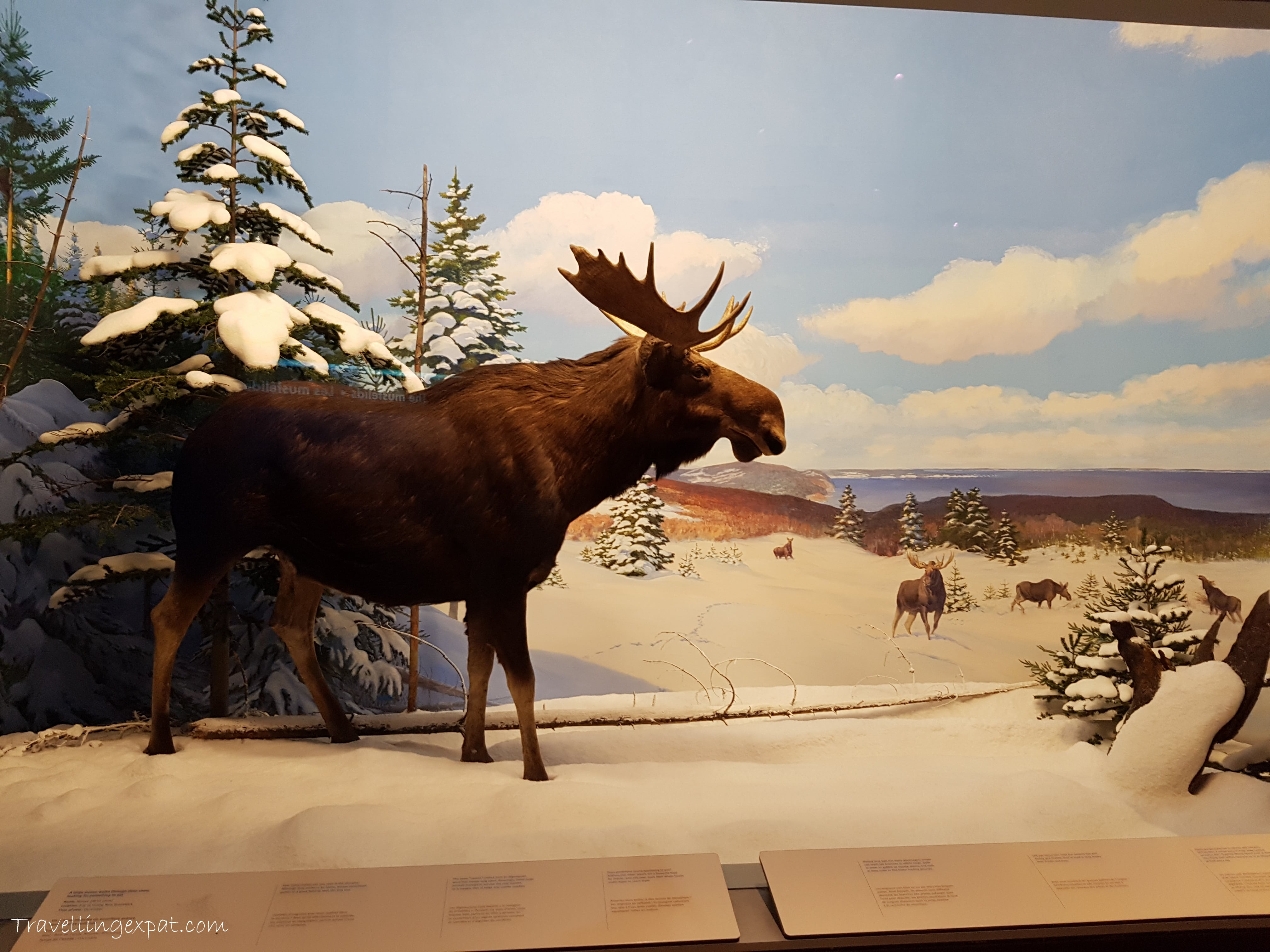 Un'alce in un museo
